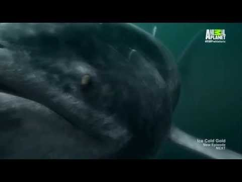 River Monsters S07E03 Prehistoric Terror - All Prehistoric Creatures HD