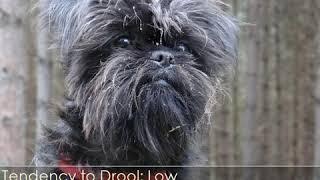 Affenpinscher  Dog Breed  Pet Friend