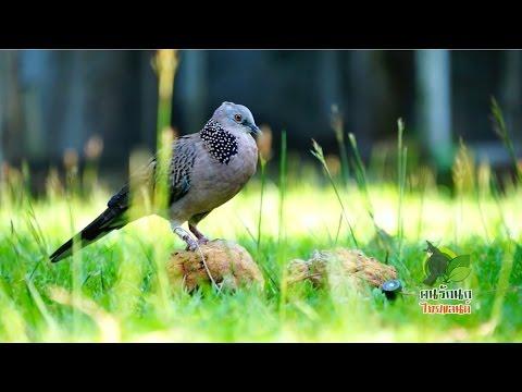 นกเขาใหญ่ นกเขาหลวง