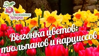 Выгонка цветов: тюльпанов и нарциссов #urozhainye_gryadki