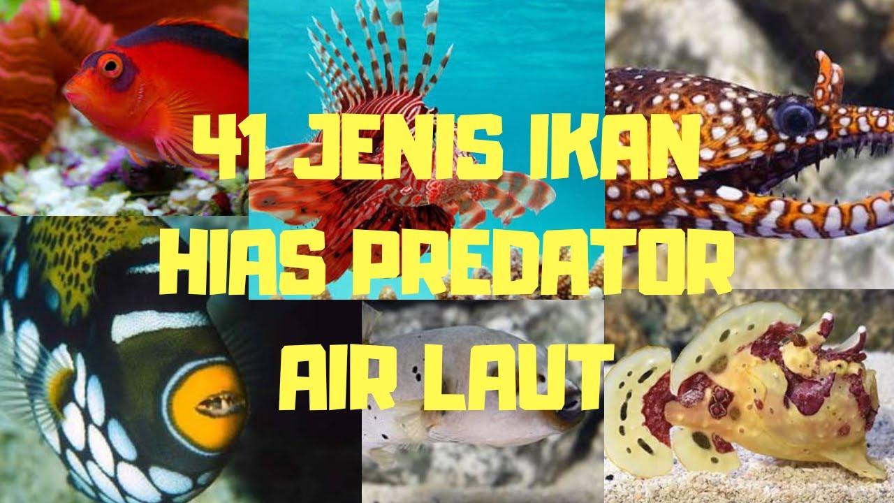 40 1 Jenis Ikan Hias Predator Air Laut Yang Indah Untuk Aquarium Anda Youtube Ikan hias air laut