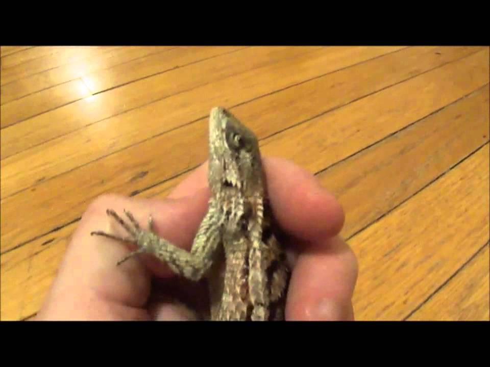 Texas Spiny Lizard in Rehab - Wichita Falls Reptile Rescue