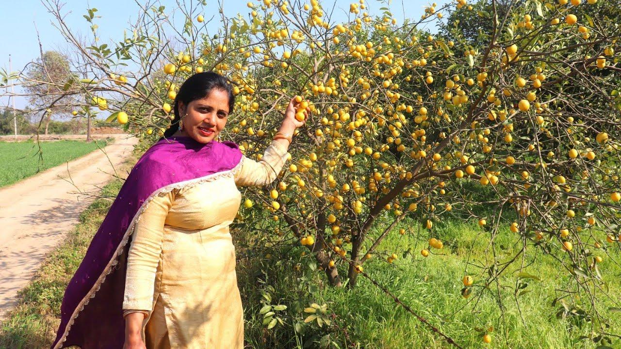 Lemon Picking in my village... Village life of Punjab