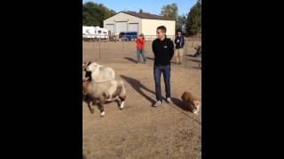 Corgi Herding Instinct Test (bobo)