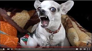 ТАКУЮ НЕ ПОГЛАДИШЬ! Чихуахуа охраняет щенков. Odessa.
