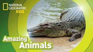 Crocodile | Amazing Animals