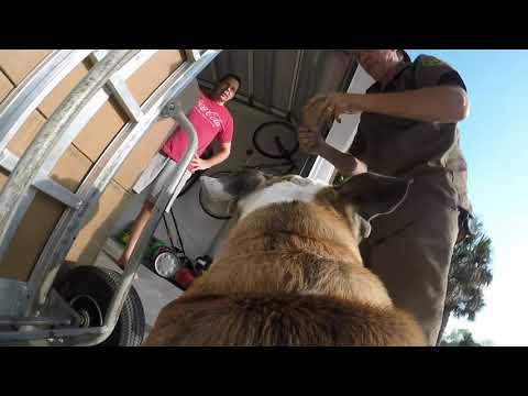 Reuben the Bulldog: UPS Treat Delivery
