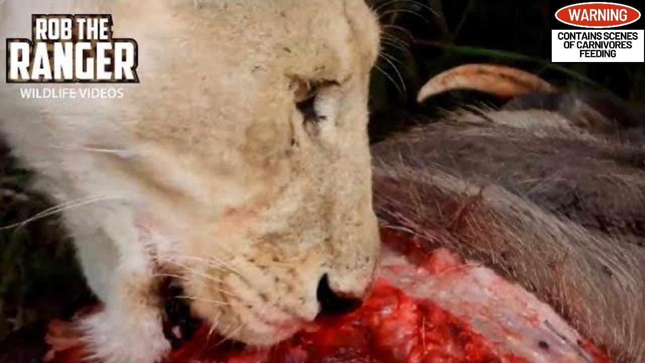 Lion Pride Feast On A Warthog   Maasai Mara Safari   Zebra Plains