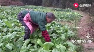 农村四哥:四川农村传统节日冬至,王四爸妈拔2背萝卜留着过年吃