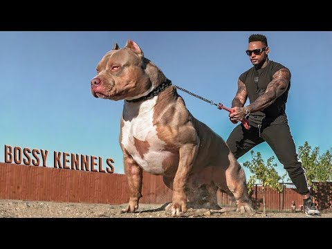 Best of American Bully Pitbulls - Extreme Dogs