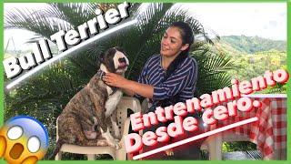 BULL TERRIER Adiestramiento canino desde 0   6 Trucos fáciles de enseñar  Rocco