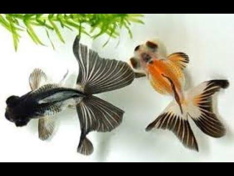 hqdefault - Jenis Ikan Mas Koki Dan Harga