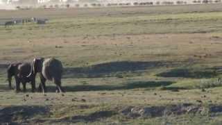 elephant  Слон — самое крупное наземное млекопитающее