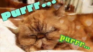 Мурчание кошки - слушать на полной громкости /  Purring cat - full volume