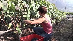 Les vignobles de la commune d'Ayent