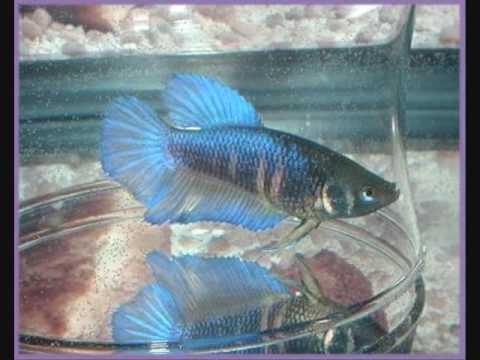 Learn Betta Fish Breeding or Mating