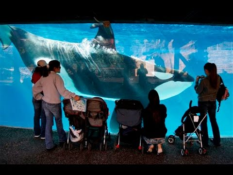 SeaWorld to end breeding program for killer whales