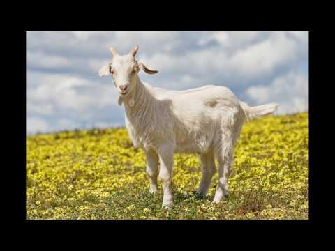 Paddy McGinty's Goat