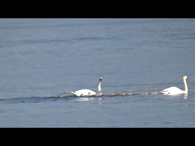 Famigliola di Cigni sul Lago di Garda