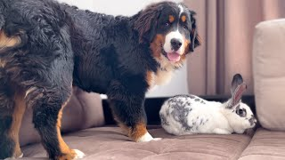 Bernese Mountain Dog Puppy Confused by a Meeting with a Giant Rabbit