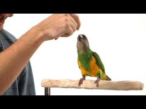 How to Teach Your Parrot to Nod Yes | Parrot Training