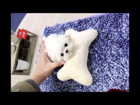 Teacup puppy for sale! Teacup maltese for U !!
