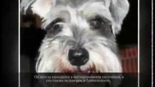Маленькие породы собак ЦВЕРГШНАУЦЕР