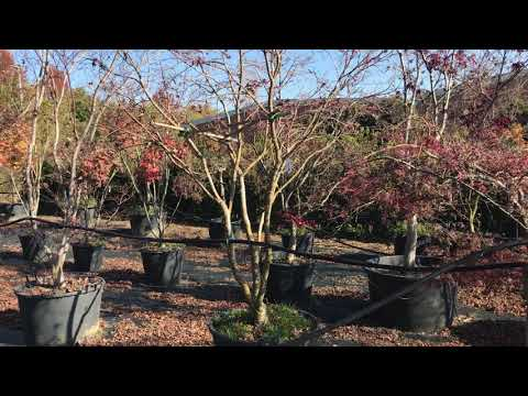 Japanese maples at Big Plant Nursery