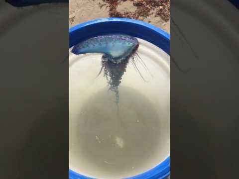 Feeding my pet Portuguese man o war the not a jellyfish