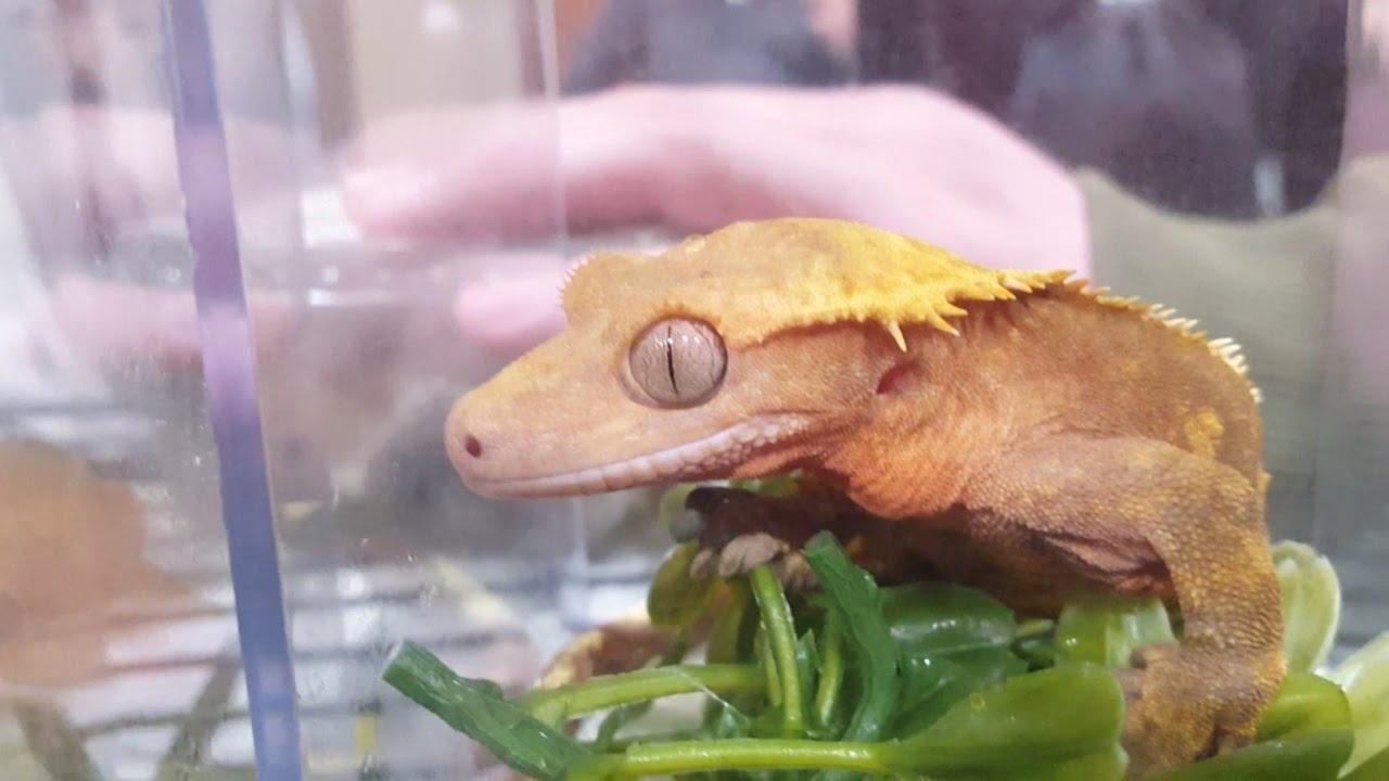 2017 North American Reptile Breeders Conference - Tinley Park, IL