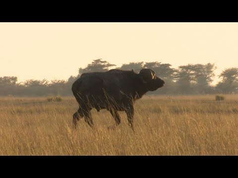Hunting African Buffalo in the Caprivi