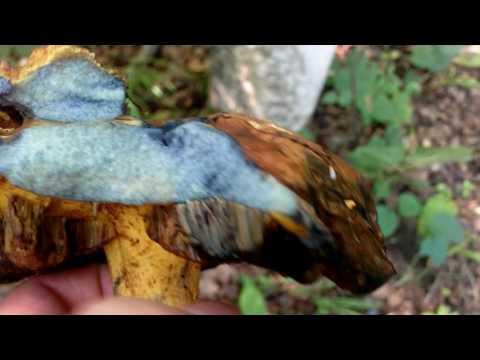 Гриб синеет на срезе