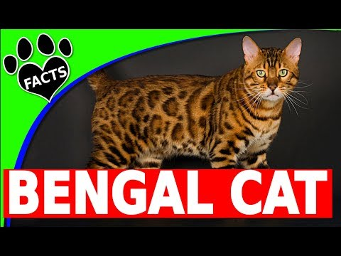Bengal Cats 101- Top 10 Facts and Information