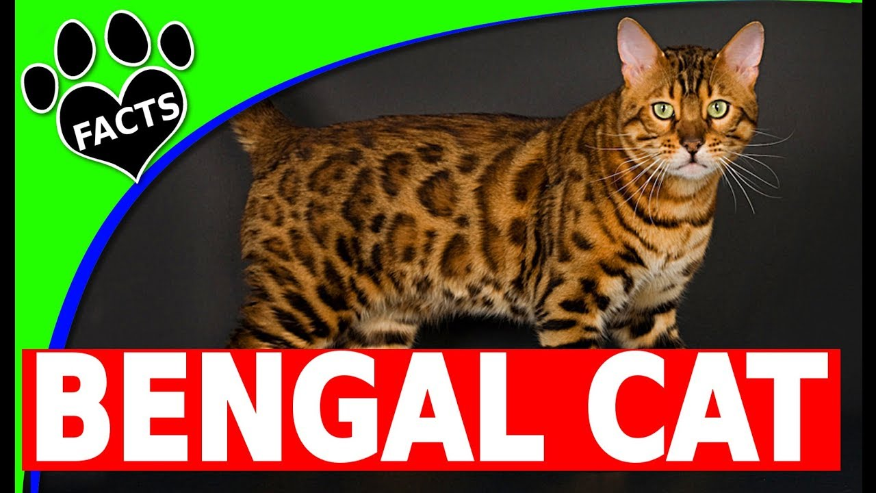 Cats 101: Bengal Cats - Top 10 Facts - Facts and Information ...