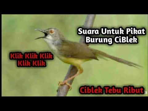 Download Lagu Suara Pikat Burung Ciblek Sawah dan Ciblek Tebu, Terampuh 2019