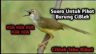 Download Video Suara Pikat Burung Ciblek Sawah dan Ciblek Tebu, Terampuh 2019 MP3 3GP MP4