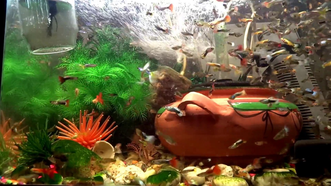 Freshwater aquarium fish lifespan - How To Make 300 Beautiful And Big Endless Guppy Fish In Your Aquarium Tank In 3 Months 2017
