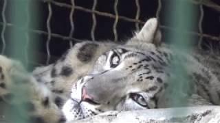 Животные: леопард, пума, снежный барс - большие кошки в шикарных вольерах\Николаевский зоопарк