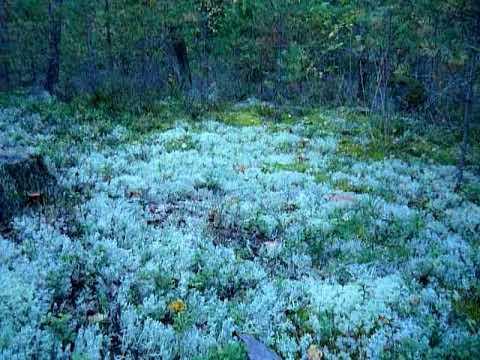 Белый мох - это... Что такое Белый мох?