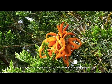 Cedar Apple Rust
