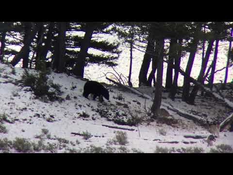 Coyotes vs. black bear in Yellowstone