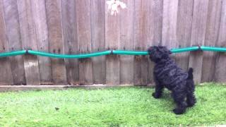 Coco The Schnauzer Puppy Exercising