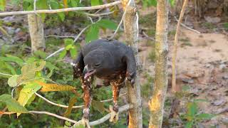 Effective Wooden Eagle Trap by Used Bird Trap - How To Make Bird Trap 100%