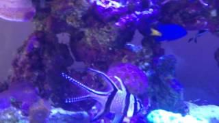 Full Marine Setup Juwel 260 Marine Reef Tank, Stand, Sump + Triton Method