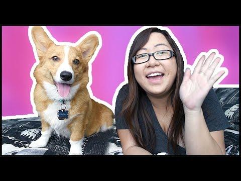 Corgi Puppy Q&A With Sploot!