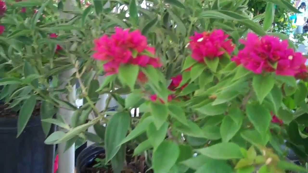 Tropical plants in miami florida plantas tropicales youtube for Plantas ornamentales tropicales
