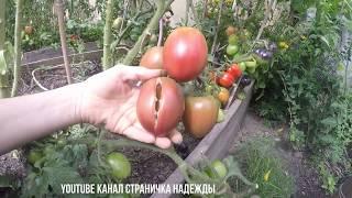 Обзор урожая томатов Август 2018