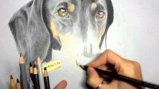 Speed Drawing - Coloured Pencil Dachshund (by Aida Trash)