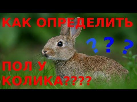Как отличить самца от самки у кроликов?Как определить пол у кроликов?