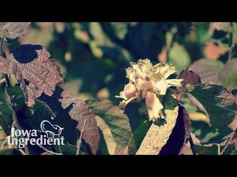 Growing Hazelnuts   Iowa Ingredient